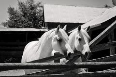 B&W Image of Two White Arabian Horses. A black and white image of two white, Arabian horses standing in front of a rustic barn Stock Photos