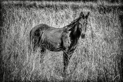 B&W of large mule in field. Stock Photos