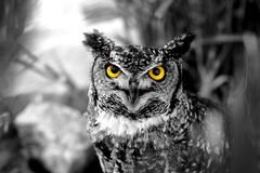 B&W Owl. B&W photo of an owl staring with yellow eyes Royalty Free Stock Image