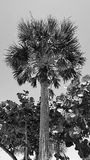 B&W Palm Tree and Mangrove Royalty Free Stock Images