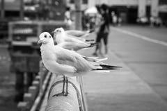 B&W Seagulls stand on a bridge. Royalty Free Stock Image