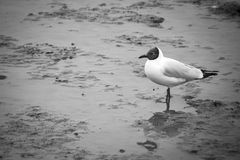 B&W Seagulls stand find food in mud. Stock Photography