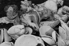 B&W Shells. B&W pile of seashells with tiny spider Stock Image