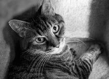 B&W si chiudono su del gatto a strisce in una scatola di scratch Fotografie Stock Libere da Diritti