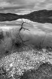 B&W of small tree in water. Royalty Free Stock Photos