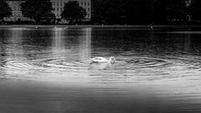 B&W swan swimming in calm waters with city in background Royalty Free Stock Images