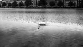 B&W swan swimming in calm waters with city in background Royalty Free Stock Photography