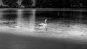B&W swan swimming in calm waters with city in background Stock Image
