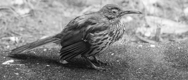 B&W Thraser posed to right side Stock Image