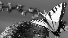 B&W Tiger Swallowtail Stock Images