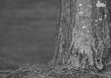 B&W Tree trunk w/pine needles Stock Images