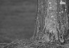 B&W Tree trunk w/pine needles Stock Images