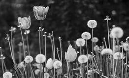 B/W vårblom på gräsmattan Arkivbilder