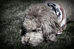 B&W von Goldendoodle-Hund patriotischen Bandana tragend Stockbilder