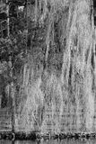 B&W Weeping Willow. Black and white photo of a Weeping Willow tree next to lake in the springtime Royalty Free Stock Image