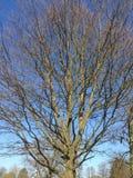 Błyskawicowy drzewo Obraz Royalty Free