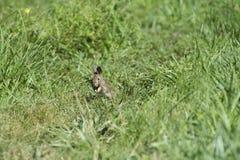 Błyskawiczny królik Obraz Stock