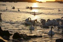 Baía da cisne Fotos de Stock Royalty Free