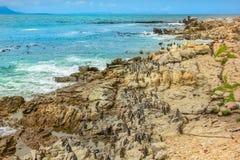 Baía de Bettys dos pinguins foto de stock royalty free