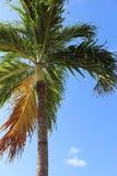 Baía indiana da palma das caraíbas, SVG foto de stock
