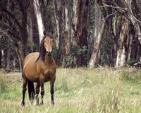 Baía Sorrel Australian Brumby Lead Mare imagem de stock