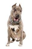 Baîllement se reposant de jeune de chien pitbull de race Images stock