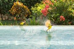 Baño de Bananaquit Imagen de archivo libre de regalías