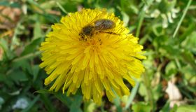 Baño de la abeja en polen del sonchus Imagen de archivo