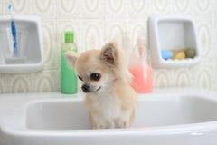 Baño de la chihuahua en cuarto de baño Fotografía de archivo