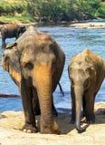 Baño de los elefantes indios de la familia en el río Ceilán Imagenes de archivo