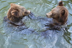 Baño de osos fotos de archivo