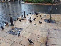 Baño de palomas Fotografía de archivo libre de regalías
