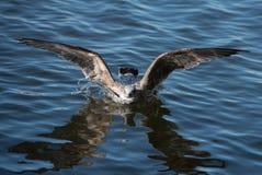 Baño de Seagul Imagen de archivo libre de regalías