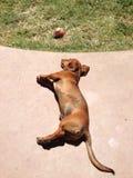 Baño de sol del perrito del perro basset Fotos de archivo