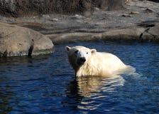 Baño de Sun del oso polar Imágenes de archivo libres de regalías