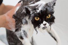 Baño de un gato Fotos de archivo