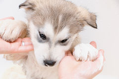 Baño de un Malamute de Alaska del perrito Foto de archivo libre de regalías
