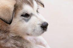 Baño de un Malamute de Alaska del perrito Imágenes de archivo libres de regalías