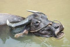 Baño del búfalo Fotos de archivo libres de regalías