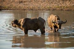 Baño del búfalo Foto de archivo libre de regalías