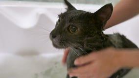 Baño del gato gris en cuarto de baño almacen de metraje de vídeo
