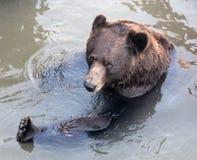 Baño del oso Fotografía de archivo libre de regalías