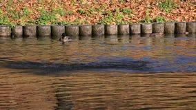 Baño del pato salvaje almacen de metraje de vídeo