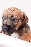 Baño del perrito del terrier de frontera Fotografía de archivo libre de regalías