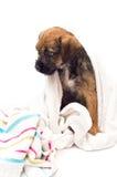 Baño del perrito del terrier de frontera Imagen de archivo libre de regalías