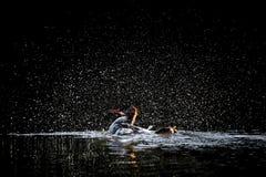 Baño del pollo de agua encapuchado fotografía de archivo