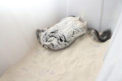 Baño del polvo de la chinchilla Fotografía de archivo