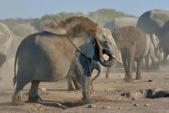 Baño del polvo del elefante en el parque nacional de Etosha, Namibia Imagen de archivo
