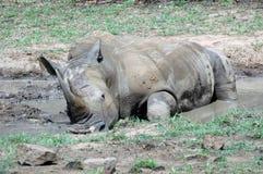 Baño del rinoceronte. Imagen de archivo libre de regalías