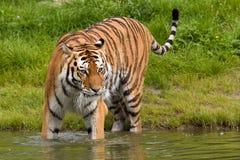 Baño del tigre Foto de archivo libre de regalías
